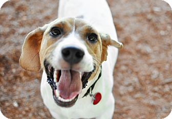 Beagle Mix Dog for adoption in Tanner, Alabama - Robby