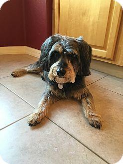Yorkie, Yorkshire Terrier/Poodle (Miniature) Mix Dog for adoption in Mesa, Arizona - Maggie