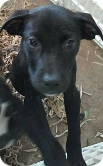 Boxer/Pit Bull Terrier Mix Puppy for adoption in middle island, New York - bia