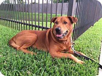Rhodesian Ridgeback/Shar Pei Mix Dog for adoption in Houston, Texas - Romeo