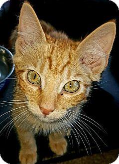 Domestic Shorthair Kitten for adoption in Jeannette, Pennsylvania - Robin
