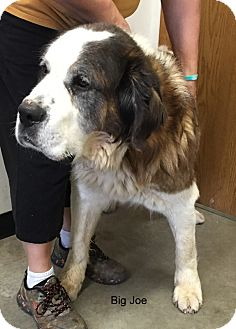 St. Bernard Mix Dog for adoption in Hibbing, Minnesota - BIG JOE