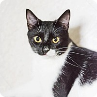 Domestic Shorthair Cat for adoption in Parma, Ohio - Slinky