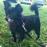 Chihuahua Mix Dog for adoption in Boca Raton, Florida - Shimmy