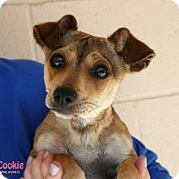 Adopt A Pet :: Cookie - Santa Maria, CA