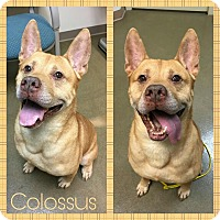 Akita/Pit Bull Terrier Mix Dog for adoption in Steger, Illinois - Colossus