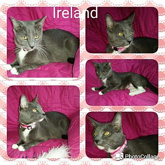 Domestic Shorthair Cat for adoption in Arlington/Ft Worth, Texas - Ireland