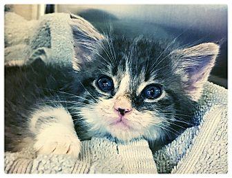 Domestic Mediumhair Kitten for adoption in Los Alamitos, California - Princess Peach