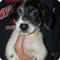 Terrier (Unknown Type, Small) Mix Puppy for adoption in Plainfield, Illinois - Khia