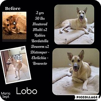 Shepherd (Unknown Type) Mix Dog for adoption in Denver, Colorado - Lobo