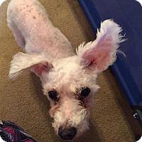 Bichon Frise Dog for adoption in Nixa, Missouri - Charlotte # 943