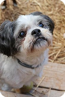 Shih Tzu Mix Dog for adoption in Alpharetta, Georgia - Tassel