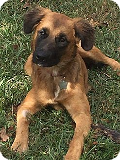 German Shepherd Dog/Golden Retriever Mix Dog for adoption in Trenton, New Jersey - Dyani (has been adopted)