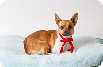 Chihuahua Mix Dog for adoption in Sacramento, California - *WILLIE