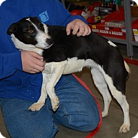 Adopt A Pet :: Miss Priss - Hopkinsville, KY