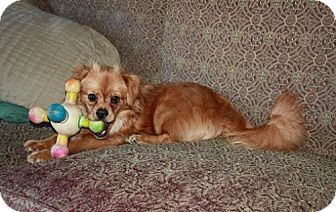 Pomeranian/Spaniel (Unknown Type) Mix Dog for adoption in Staunton, Virginia - Honey Bee