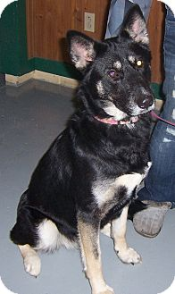 German Shepherd Dog Dog for adoption in Tully, New York - BELLA