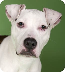 American Pit Bull Terrier Mix Dog for adoption in Chicago, Illinois - Allie
