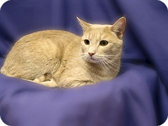 Domestic Shorthair Cat for adoption in Richmond, Virginia - Mr. Muffin