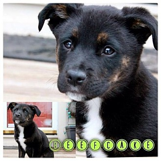 Labrador Retriever/German Shepherd Dog Mix Puppy for adoption in Garden City, Michigan - Beefcake