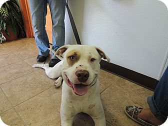 American Staffordshire Terrier Mix Dog for adoption in Houston, Texas - Howie