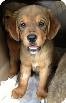 Australian Shepherd/Spaniel (Unknown Type) Mix Puppy for adoption in Gainesville, Florida - Major