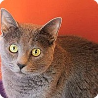 Domestic Shorthair Cat for adoption in Topeka, Kansas - Missy