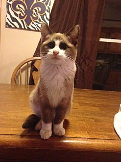 Snowshoe Kitten for adoption in Baton Rouge, Louisiana - Karma