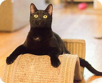 Bombay Cat for adoption in Chicago, Illinois - Cadbury