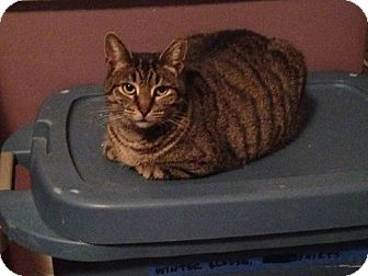 Domestic Shorthair Cat for adoption in Virginia Beach, Virginia - Misha