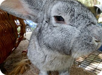 Chinchilla, Standard Mix for adoption in Williston, Florida - Mylan