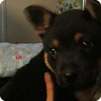 Adopt A Pet :: Malina - Rocky Mount, NC