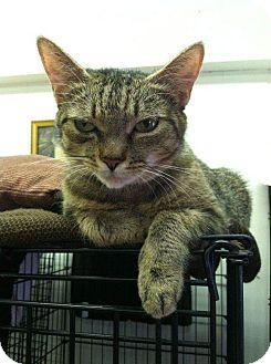 Domestic Shorthair Cat for adoption in Acushnet, Massachusetts - Bean