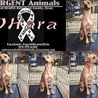 Black Mouth Cur Mix Dog for adoption in Hearne, Texas - Ohara