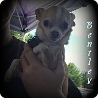 Adopt A Pet :: Bentley - Denver, NC