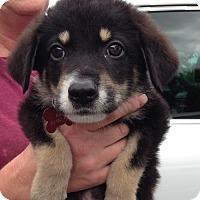 Adopt A Pet :: Hercules - Royal Palm Beach, FL