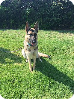German Shepherd Dog Dog for adoption in Lisbon, Ohio - Zoey