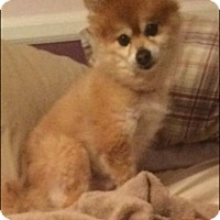 Adopt A Pet :: Romeo - Gibbstown, NJ