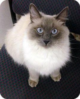 Birman Cat for adoption in Alvin, Texas - Marisol