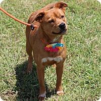 Beagle/Terrier (Unknown Type, Medium) Mix Dog for adoption in Denver, Colorado - Jordan