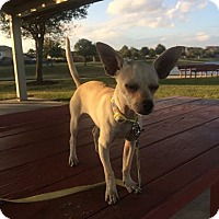 Adopt A Pet :: Pippen - Baltimore, MD