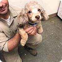 Adopt A Pet :: MOJO Morris - Newport, KY