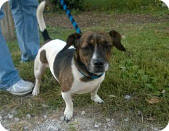 Hound (Unknown Type) Mix Dog for adoption in Terre Haute, Indiana - SHORTY