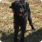 Adopt A Pet :: Steffi (Needs Foster/Has Application)