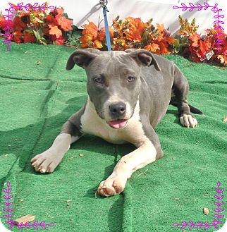 Pit Bull Terrier/American Pit Bull Terrier Mix Puppy for adoption in Marietta, Georgia - GIGI