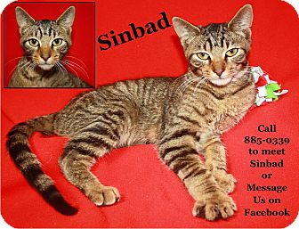 Domestic Shorthair Cat for adoption in Cuba, Missouri - Sinbad