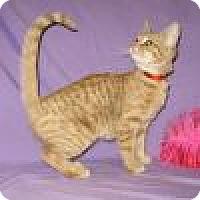 Domestic Shorthair Cat for adoption in Powell, Ohio - Cinnamon