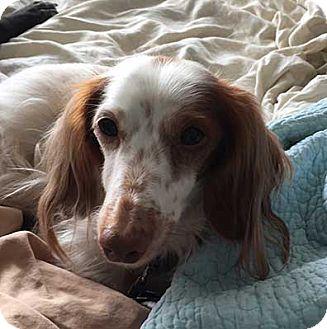 Dachshund Dog for adoption in Jacksonville, Florida - Charlie