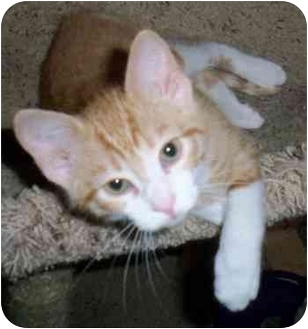 Domestic Shorthair Cat for adoption in Odenton, Maryland - Tommy