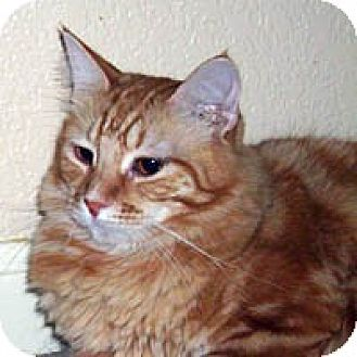 Maine Coon Cat for adoption in Round Rock, Texas - Jewels